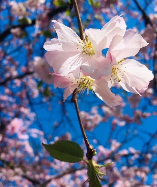 Blooming-Blossom